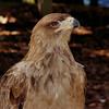 Tawny Eagle<br /> World Bird Sanctuary