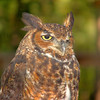 Great Horned Owl<br /> World Bird Sanctuary
