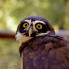 Spectacled Owl <br /> The spectacled owl lives in the rainforests of Central and South America.<br /> World Bird Sanctuary
