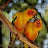 Sun Conure<br /> World Bird Sanctuary