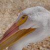 American White Pelican<br /> World Bird Sanctuary