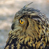 Eurasian Eagle Owl<br /> World Bird Sanctuary