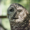 Barred Owl<br /> The barred owl is also known as Crazy Owl and Laughing Owl for their loud, enthusiastic hooting.  It shares one unique feature with the barn owl: the dark eyes.  This is an owl native to the United States .<br /> World Bird Sanctuary