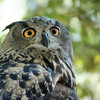 Eurasian Eagle Owl<br /> The Eurasian eagle owl is one of the largest owls in the world, standing 24-28 inches tall with a wingspan in excess of 5 feet!<br /> World Bird Sanctuary