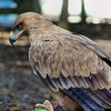Tawny Eagle<br /> Name: Max (Maximus), Male, Hatched: Spring 2002<br /> Loves to play with tennis balls, is very curious about everything!<br /> World Bird Sanctuary