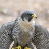 Peregrine Falcon<br /> World Bird Sanctuary