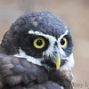 Spectacled Owl<br /> World Bird Sanctuary