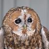 Tawny Owl<br /> World Bird Sanctuary