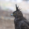 Long Crested Eagle<br /> World Bird Sanctuary