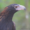 Golden Eagle<br /> World Bird Sanctuary