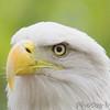 Bald Eagle<br /> World Bird Sanctuary