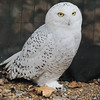Snowy Owl<br /> World Bird Sanctuary