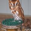 Eastern Screech Owl<br /> World Bird Sanctuary