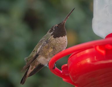 Fat  Hummingbird: Oct 17, 2017 & April 4,  2018