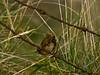 Wren (Troglodytes troglodytes). Copyright 2009 Peter Drury<br /> Farlington Marshes, Langstone Harbour