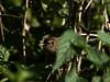 Wren (Troglodytes troglodytes). Copyright 2009 Peter Drury<br /> Portsdown Hill, Portsmouth