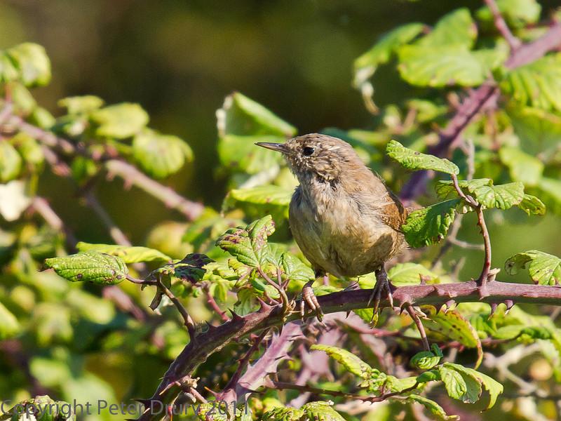 02 Oct 2011 Wren at Farlington Marshes