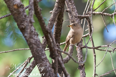 Brown-throated House Wren