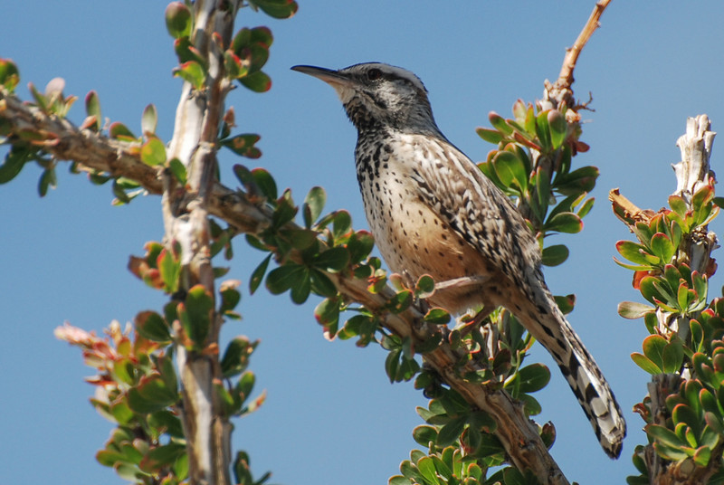 Cactus Wren. Palm Springs, CA. This is a large raucous  sounding wren.