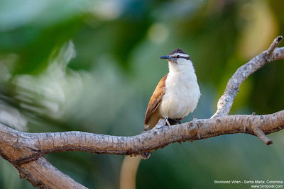 Bicolored Wren - Santa Marta, Colombia
