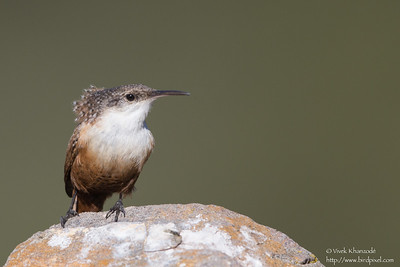 Canyon Wren - Coyote Lake County Park, Gilroy, CA, USA