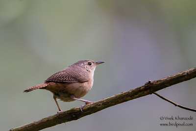 House Wren - Inkaterra Resort, Aguas Calientes, Peru