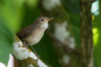 House Wren (Southern) - Asa Wright Nature Center, Trinidad