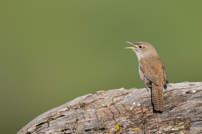 House Wren - Rancho San Antonio, Los Altos, CA, USA