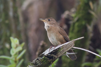 House Wren - Costa Rica