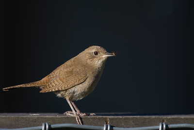 House Wren - Los Altos, CA, USA