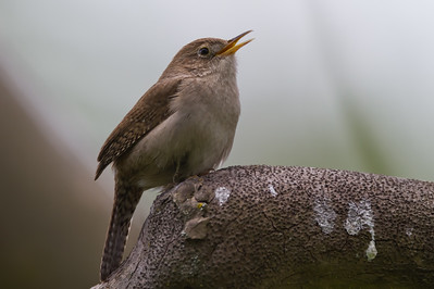 House Wren - McClellan Ranch, Cupertino, CA, USA
