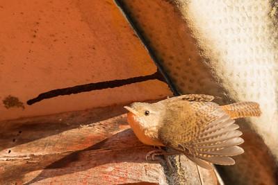 House Wren (Southern) - Peru