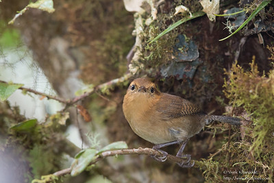 Mountain Wren - Record - San Isidro Lodge, Ecuador