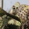Cactus Wren- CLU- VenCo_CA__2694
