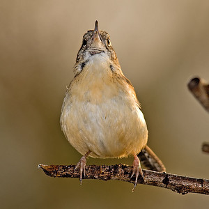 A wren in full song mode!