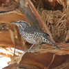 Cactus Wren- Bahia de Los Angeles- MX 3484
