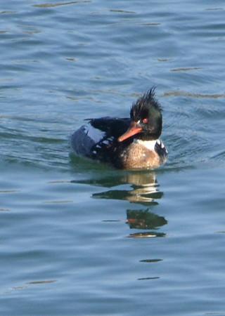 Yaquina Bay Birds -- March 2012