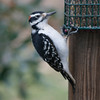 Hairy Woodpecker (M)