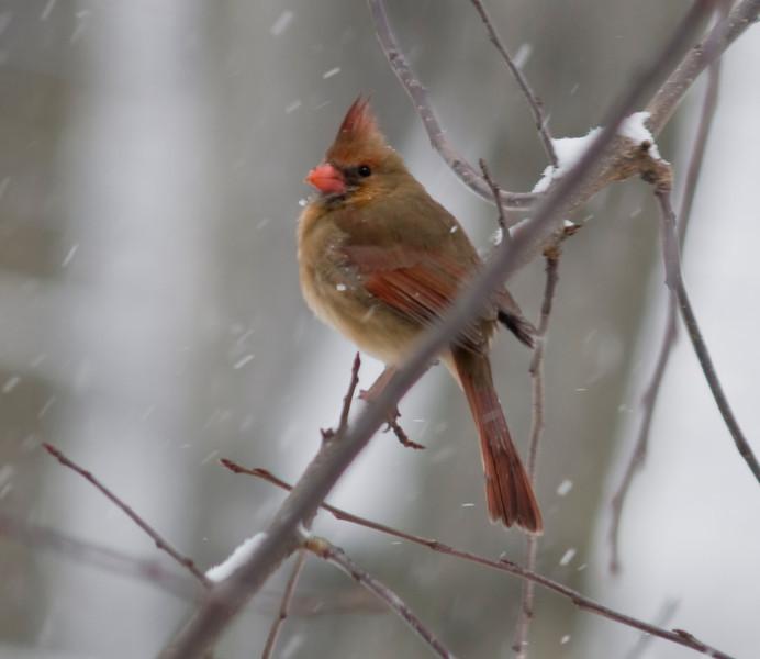 Cardinal (F)