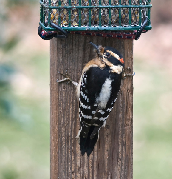 Downey Woodpecker (M, atypical tan)