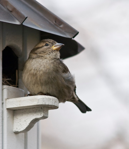 House Sparrow (F)