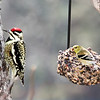 Left:  Rocky, our female Yellow-Bellied Sapsucker, is having lunch with Goldie, the female American Goldfinch