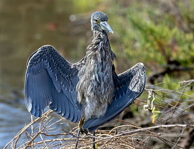 Juvenile Yellow Crowned Night Heron Wing Open