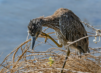 Juvenile Yellow Crowned Night Heron Grooming