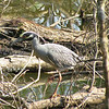 Yellow-Crowned Night-Heron<br /> Riverbend Wildlife Management Area<br /> Laurens County