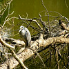 Yellow-Crowned Night-Heron <br /> Riverbend Wildlife Management Area<br /> Laurens County