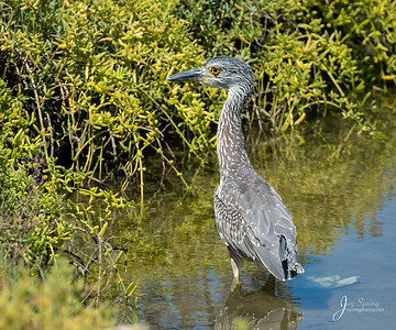 Yellow crowned Night Heron Juvenile