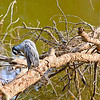 Yellow-Crowned Night Heron<br /> Riverbend Wildlife Management Area<br /> Laurens County