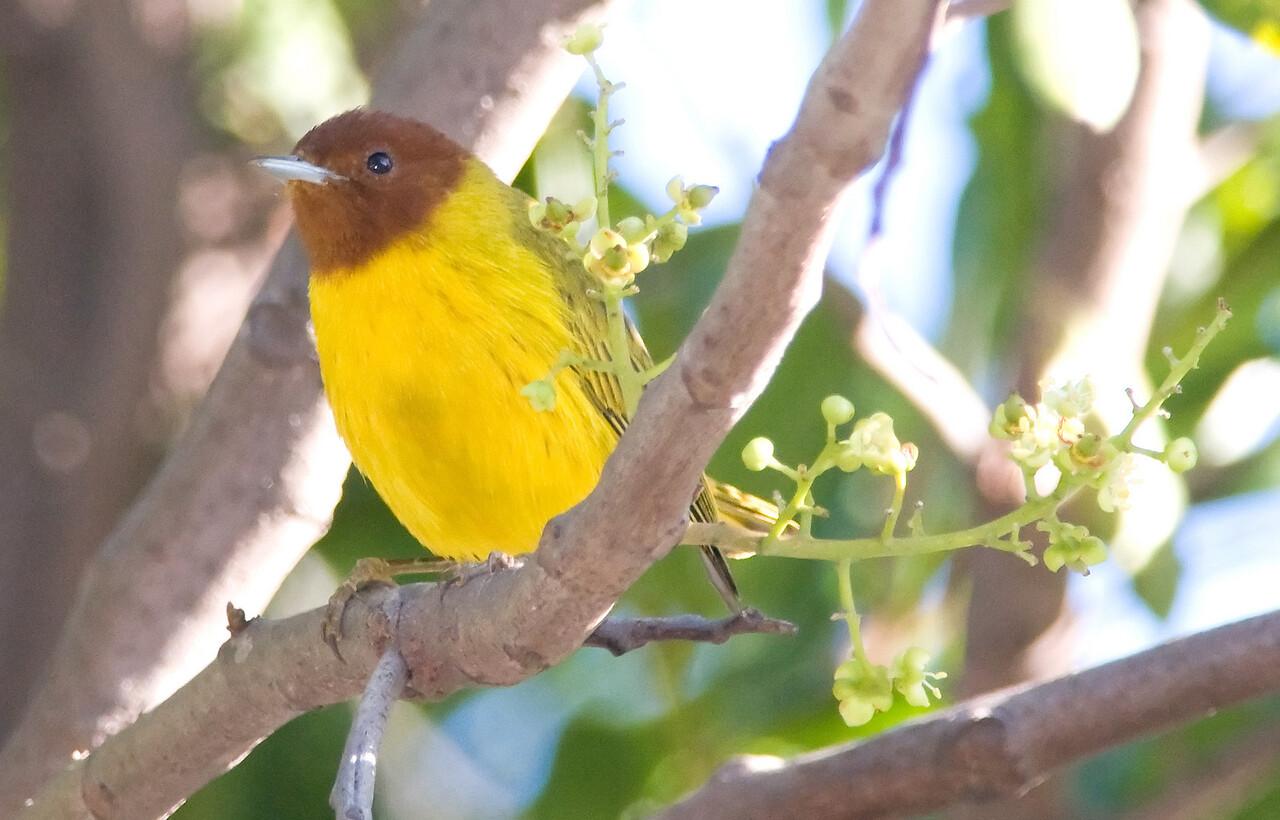 "Yellow ""Mangrove"" Warbler"