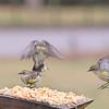 The Carolina Chickadee and three Yellow-Rumped Warblers